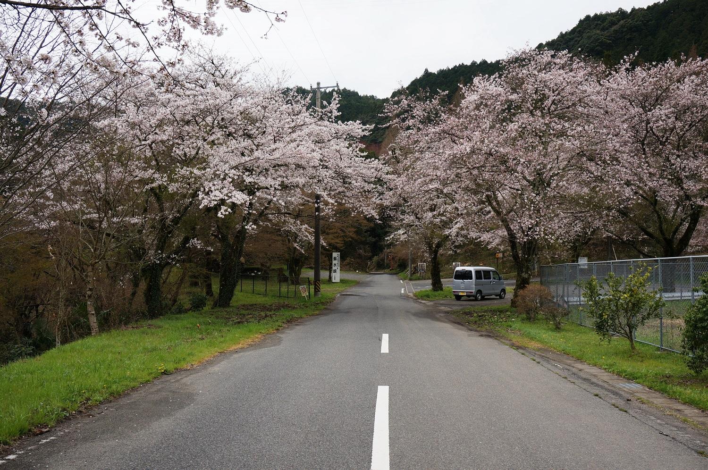 蘇水峡の桜